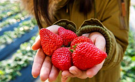 草莓小镇采摘园