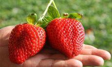 荣聚草莓采摘生态园
