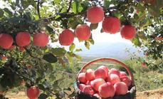 广华寒富苹果种植园