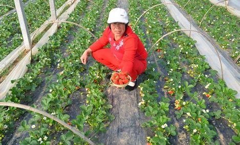 薛贵臣草莓采摘农场