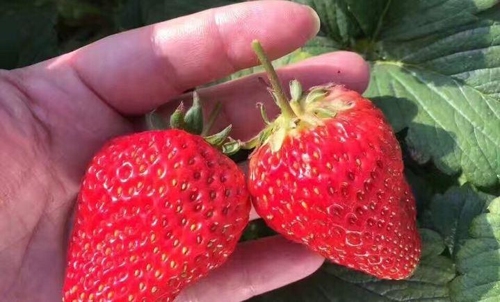 富国草莓采摘生态园 - 大图