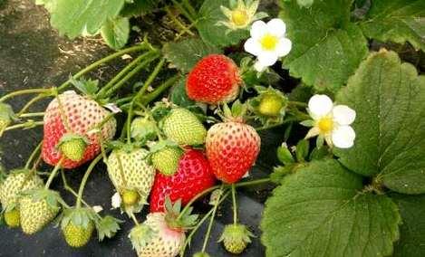 祥瑞富硒草莓采摘园 - 大图