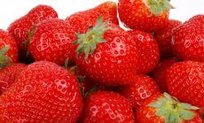 旭日草莓采摘5斤