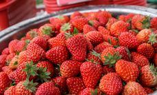莓之语生态草莓园