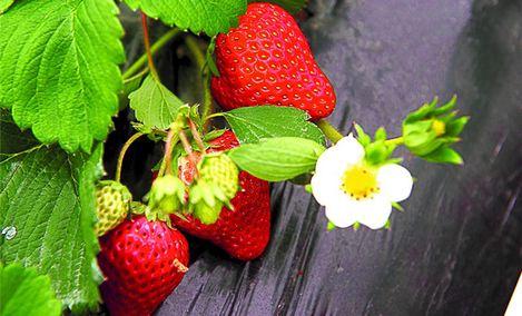 foodsland发酵草莓采摘园