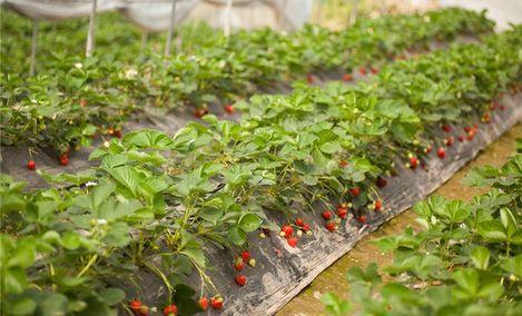 西永草莓园