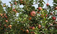 共享花田亲子农场苹果树认领