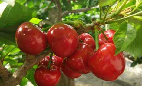 果果樱桃园 - 大图