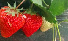 云佛山草莓采摘3斤