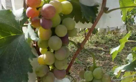 绿野居葡萄采摘园
