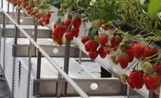 美盛草莓采摘双人4斤套餐