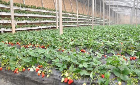 丰民草莓采摘园