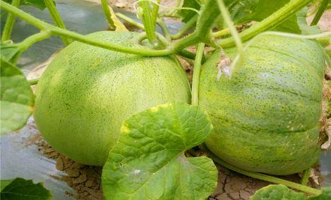 新动甜瓜种植专业合作社