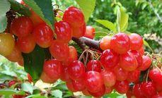 创投采摘园樱桃采摘套餐