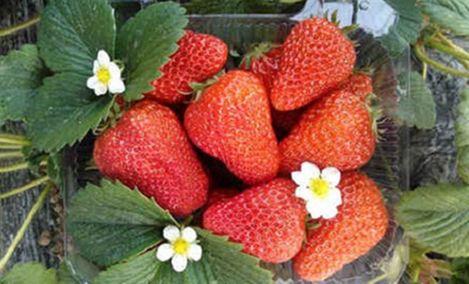 田园草莓采摘园