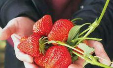 友仁草莓蔬菜采摘园