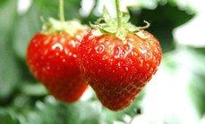 飞飞鸿运草莓采摘