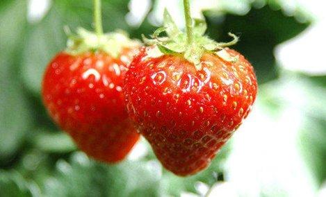 飞飞鸿运草莓采摘园