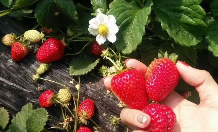 盛丰生态草莓采摘园 - 大图