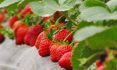 幸福草莓园草莓采摘1斤