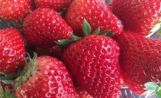 大自然红颜草莓采摘39