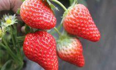 大自然有机奶油草莓采摘1斤