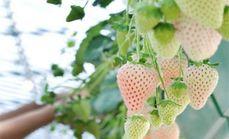 七里香白草莓采摘1斤