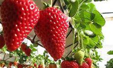 玉明草莓采摘3人服务