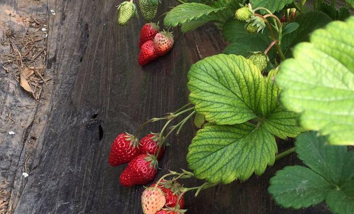 老郭头奶油草莓采摘