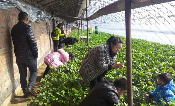 北大荒现代农业园满家草莓采摘