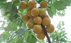 采摘杏李油桃苹果4选1