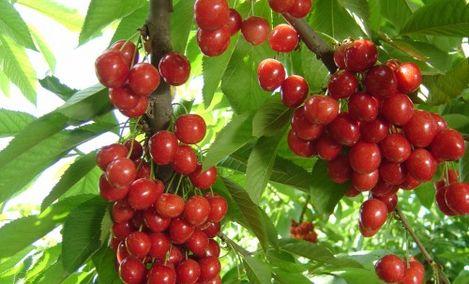 樱桃采摘园