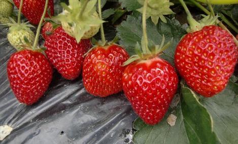 七里香草莓公社 - 大图