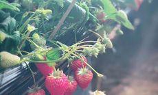 洪硕山庄草莓采摘园