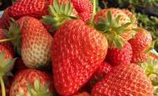 福缘有机草莓采摘工作日