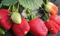 茂发盛红颜2斤草莓采摘