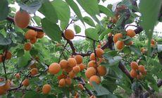 创投采摘园杏子采摘套餐