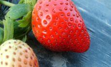 兴莓草莓采摘园