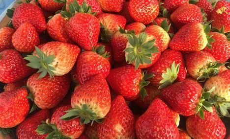 熊大熊二生态草莓采摘园