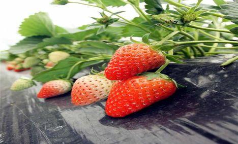 郑氏奶油草莓农家乐园