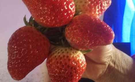 小张草莓采摘园 - 大图