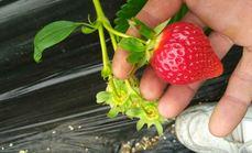 红星草莓5斤