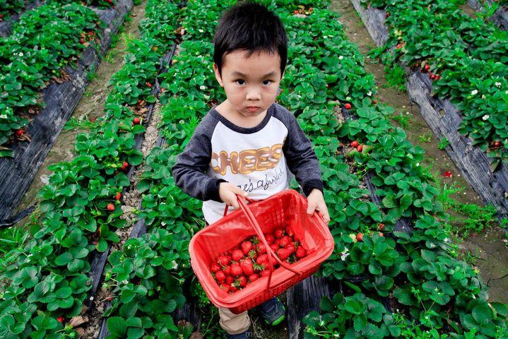 金农夫草莓基地
