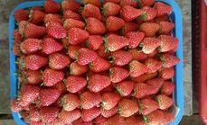 湿地公园草莓采摘园(崇州店)