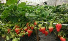 济西农夫庄园草莓采摘园