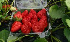 老兵草莓采摘