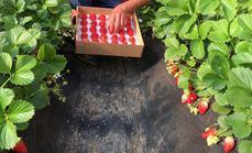 美盛草莓采摘1斤