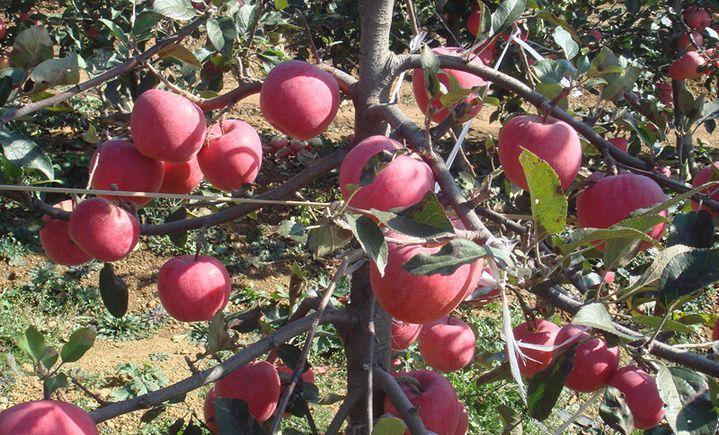 金冠果业采摘园