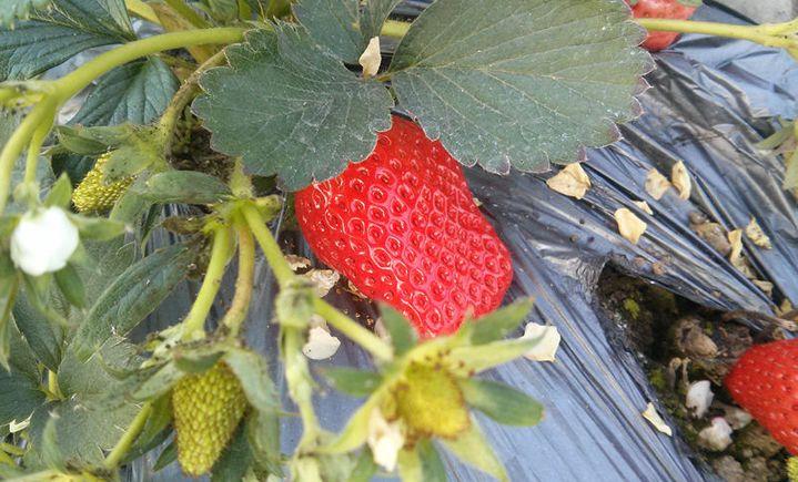 金延涛草莓采摘园