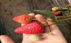 果果草莓园130元三人服务